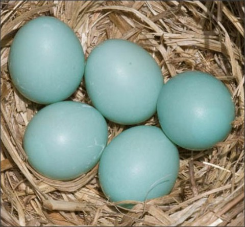 http://www.sci-news.com/biology/mystery-blue-green-bird-eggs-03908.html