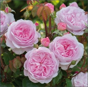http://www.davidaustinroses.com/japan/enlargedversion.asp?ProductId=6341&ProductName=Olivia%20Rose%20Austin