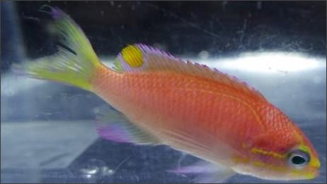 http://i.cbc.ca/1.3638226.1466083208!/cpImage/httpImage/image.jpg_gen/derivatives/16x9_620/hawaii-new-fish.jpg