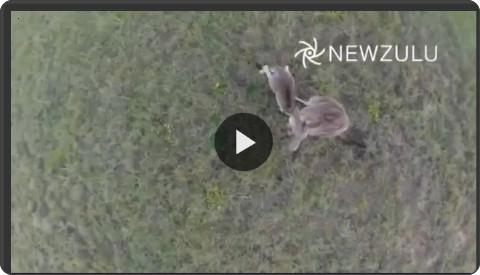 http://video.repubblica.it/natura/australia-il-canguro-mette-ko-il-drone/187547/186452?ref=HRESS-9