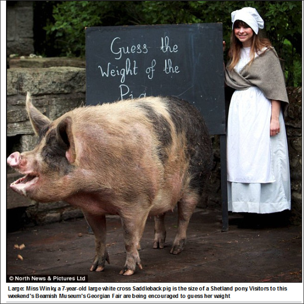 http://www.dailymail.co.uk/news/article-2333466/Shes-quite-girl-Enormous-Saddleback-pig-Miss-Winky-size-Shetland-pony--weight-causing-issues-recent-date-boar.html