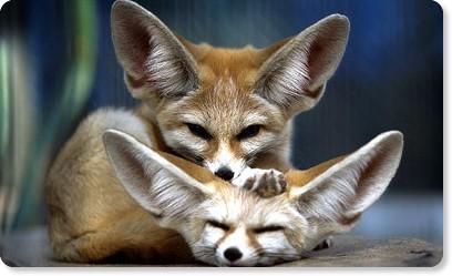 どうぶつたちの横顔 | Animal Profile | Profile 10/イヌのなかま、フェネック