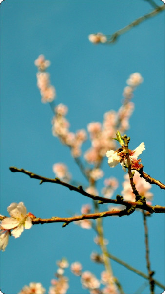 http://www.ilikewallpaper.net/iphone-5-wallpaper/Peach-Flowers-Spring/9327