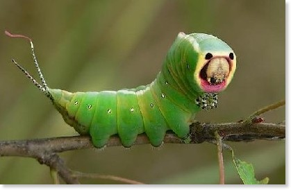 http://www.environmentalgraffiti.com/featured/most-alien-looking-caterpillars-on-earth/11812
