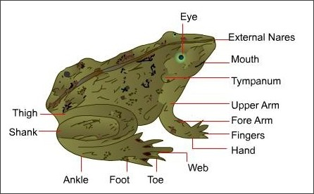What do you call the hands and feet of a frog? – Kgb Answers