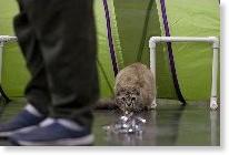 猫たんの障害物競走 アジリティーコンテスト開催