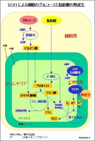 http://hikawa.takara-bune.net/hDietUCP.html