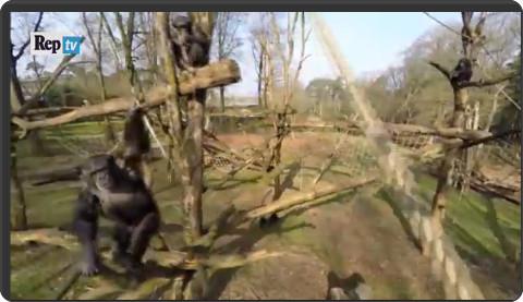 http://video.repubblica.it/natura/olanda-niente-riprese-grazie-lo-scimpanze-abbatte-il-drone/197524?video=&ref=HRESS-5