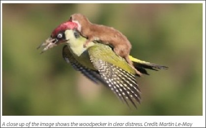 http://www.itv.com/news/2015-03-02/incredible-image-shows-weasel-flying-on-woodpeckers-back/