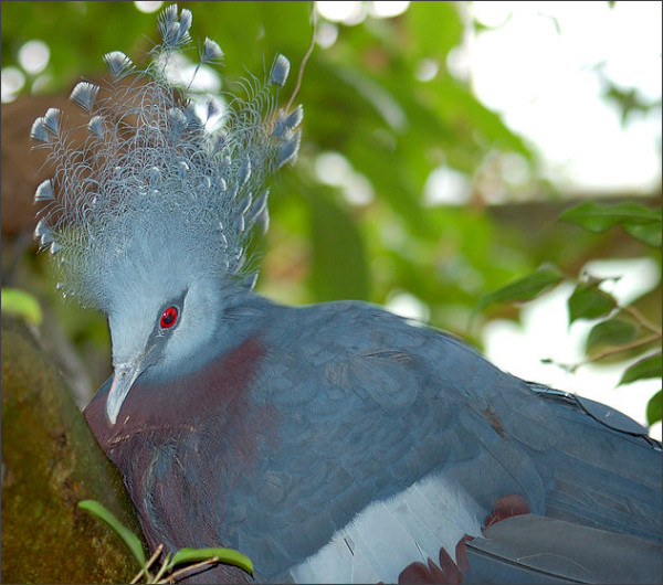 http://en.wikipedia.org/wiki/File:Victoria_Crowned_Pigeon_Goura_victoria_Head_2200px.jpg