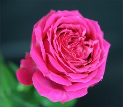 http://himawari-rose.com/images/big/%E3%83%A9%E3%83%96%E3%83%A9%E3%83%93%E3%83%AA%E3%83%B3%E3%82%B9+.jpg