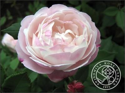 http://shinomiya-rose.com/2009/mme-pierre-oger.html