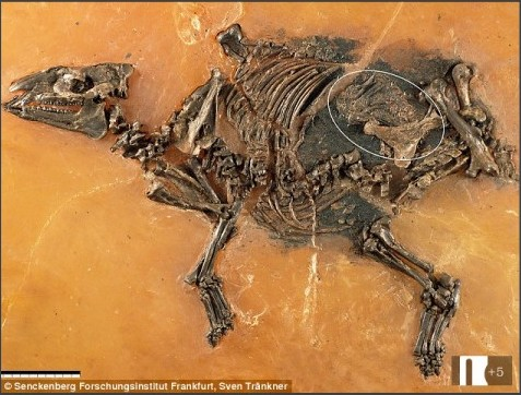 http://www.dailymail.co.uk/sciencetech/article-3263780/Fossil-unborn-horse-INSIDE-womb-discovered-48-million-year-old-foal-died-shortly-giving-birth.html