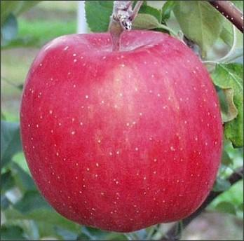 http://www.chaya.bz/apple.html