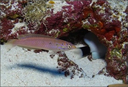 http://i.cbc.ca/1.3638231.1466083348!/cpImage/httpImage/image.jpg_gen/derivatives/original_620/hawaii-new-fish.jpg