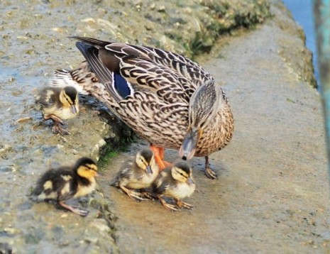 http://www.dailymail.co.uk/news/article-1193151/Get-feet-The-moment-duckling-trodden-mother-went-water-time.html