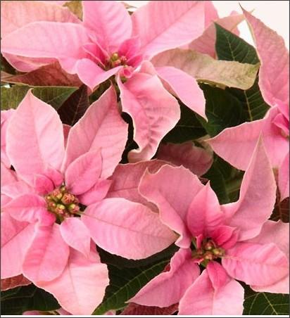 http://www.suntory.co.jp/flower/gardening/lineup/spring/princettia/