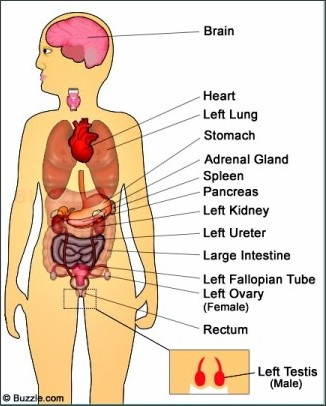 What organs are located on the left side in the vicinity of the ...