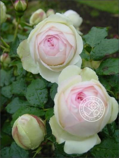http://shinomiya-rose.com/2009/pierre-de-ronsard.html