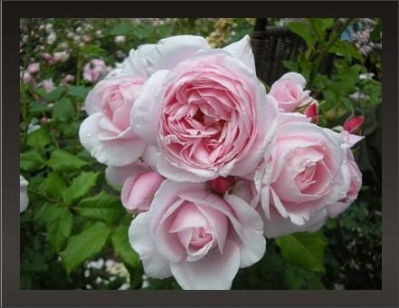 http://www.gg-gardens.com/rose/r-deru/suvuniiru.html