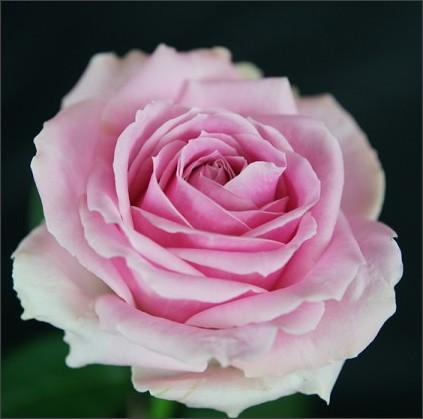 http://himawari-rose.com/images/big/%E3%83%94%E3%83%B3%E3%82%AF%E3%82%A2%E3%83%B4%E3%82%A1%E3%83%A9%E3%83%B3%E3%83%81%E3%82%A7+.jpg
