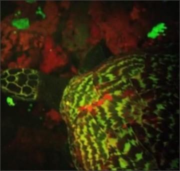 http://www.cnn.co.jp/storage/2015/09/30/cf61d820fbb6458872a47263abaed6c1/thumbnail-glowing-sea-turtle1.jpg