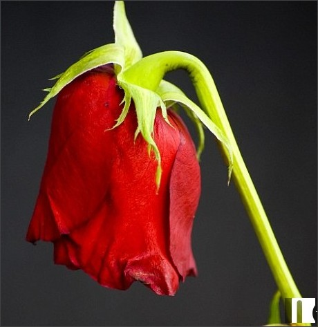http://www.dailymail.co.uk/sciencetech/article-3625040/The-rose-won-t-wilt-Scientists-create-flower-petals-stay-fresh-days.html