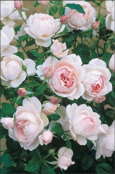 http://shinomiya-rose.com/2010/madame-figaro.html