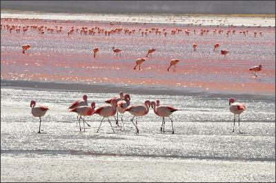 http://www.descoperalocuri.ro/wp-content/uploads/2013/10/Laguna-Ro%C5%9Fie-Bolivia-celebrele-p%C4%83s%C4%83ri-Flamingo.jpg