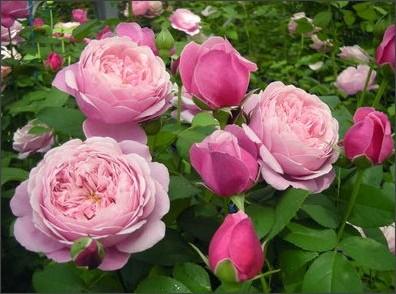 http://shinomiya-rose.com/2010/chant-rose-misato.html