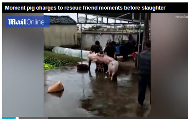 http://www.dailymail.co.uk/news/article-5259419/Pig-rescues-friend-thats-slaughtered.html