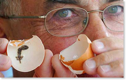 http://www.telegraph.co.uk/news/newstopics/howaboutthat/1966106/What-came-first---the-egg-or-the-gecko-inside.html