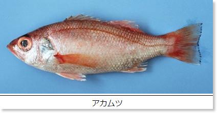http://www.pref.shimane.lg.jp/industry/suisan/shinkou/umi_sakana/sakana/2/2-03.html
